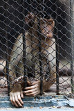 Portrait of monkeys enclosed behind bars, summer da Royalty Free Stock Photos