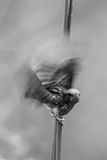 Portrait monochrome of Streaked Weaver Stock Images