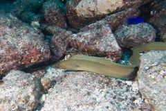 Portrait mooray d'anguille Images libres de droits