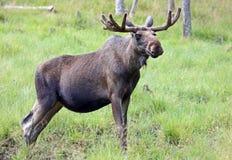 Portrait of a Moose bull (Alces alces). Sweden Stock Image