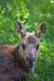 Portrait of Moose Calf Royalty Free Stock Photos