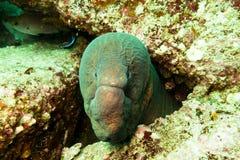 Moray Eel Oman. Portrait of a moray eel in the sultanate oman Stock Photo