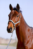 The portrait is more red than a horse. In a bridle against the sky Stock Photo