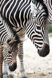 Portrait of mother and baby zebra Royalty Free Stock Photography