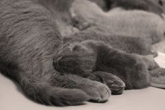 British Shorthair mother feeding her babies. Portrait of a mother cat breastfeeding her newly born kittens, British Shorthair Stock Photography
