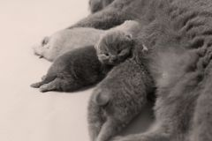 British Shorthair mother feeding her babies. Portrait of a mother cat breastfeeding her newly born kittens, British Shorthair Royalty Free Stock Images