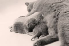British Shorthair mother feeding her babies. Portrait of a mother cat breastfeeding her newly born kittens, British Shorthair Royalty Free Stock Photos
