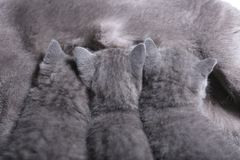 British Shorthair mother feeding her babies, close-up view. Portrait of a mother cat breastfeeding her newly born kittens, British Shorthair, close-up view stock photography