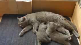 British Shorthair mother feeding her kitten stock footage