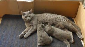 British Shorthair mother feeding her kitten stock video