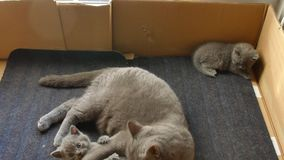 British Shorthair mother with her kittens stock footage