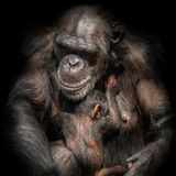 Portrait of mother Chimpanzee with her funny small baby at black. Background, extreme closeup stock photo