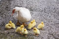 Portrait of mother muscovy duck and group of cute yellow fluffy baby ducklings in background, animal family concept. Portrait of mother muscovy duck and group of Royalty Free Stock Image