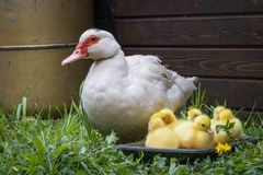 Portrait of mother muscovy duck and group of cute yellow fluffy baby ducklings, animal family concept stock photography