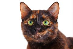 Portrait of the motley cat. A cat of a tortoise color with green eyes, a close up, selective focus, it is isolated on white Royalty Free Stock Photography