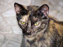 Portrait of a mottled stray cat Royalty Free Stock Photography