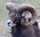 Portrait of a moufflon Stock Photos