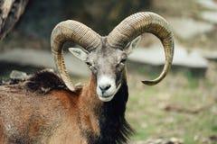 Portrait of the mouflon ram / goat. royalty free stock photo