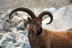 Portrait of a mountain goat. Mountain goat with big horns - an enviable trophy for any hunter Stock Photography