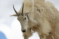 Portrait of mountain goat Stock Photos