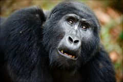 Portrait of a mountain gorilla. Stock Photography