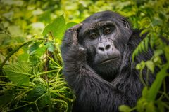 Portrait of a Mountain Gorilla stock photography