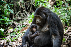 Portrait of a mountain gorilla with cub at a short distance. gorilla close up portrait. Royalty Free Stock Image