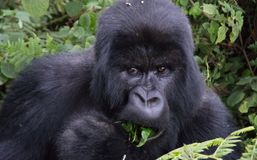 Portrait of Mountain Gorilla eating leaf in forest clearing Rwanda royalty free stock image