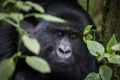 Portrait of mountain gorilla stock images