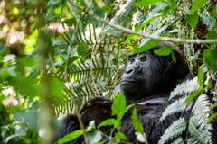 Portrait of a mountain gorilla at a short distance. Gorilla close up portrait.The mountain gorilla (Gorilla beringei beringei Royalty Free Stock Photos
