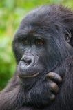 Portrait of a mountain gorilla. Uganda. Bwindi Impenetrable Forest National Park. Stock Photography