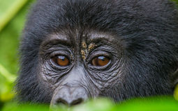 Portrait of a mountain gorilla. Uganda. Bwindi Impenetrable Forest National Park. An excellent illustration Royalty Free Stock Photography