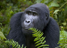 Portrait of a mountain gorilla. Uganda. Bwindi Impenetrable Forest National Park. An excellent illustration stock image