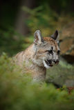 Portrait of Mountain Lion in the autum green forest Royalty Free Stock Images
