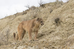 Portrait of mountain lion on hill. Portrait of mountain lion on ledge Royalty Free Stock Image