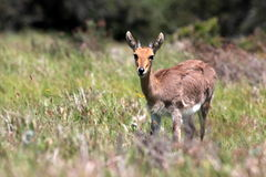 Portrait of a Mountain Reedbuck ram Royalty Free Stock Images