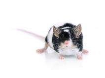 Portrait of a mouse royalty free stock images