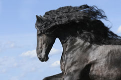 Portrait of moving friesian black horse Stock Images
