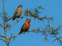 Portrait of Mr. and Mrs. House Finch royalty free stock photos