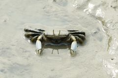 Portrait of Mud Crab Royalty Free Stock Photography