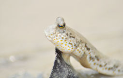 A Portrait of a Mud Skipper Royalty Free Stock Photo