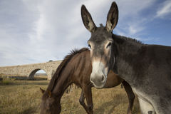 Portrait of a mule against blue sky Royalty Free Stock Images