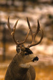 Portrait of a Mule Deer Buck Stock Photo