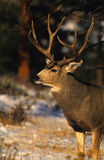 Portrait of a Mule Deer Buck Stock Images