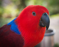 Portrait of a multi-colored parrot, Koh Samui, Thailand Royalty Free Stock Images