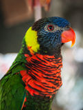 Portrait of a multi-colored parrot, Koh Samui, Thailand Royalty Free Stock Photo