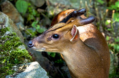 Portrait of muntjak deer Royalty Free Stock Photo