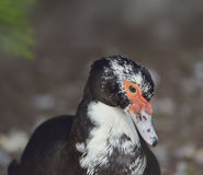 Portrait of Muscovy Duck Stock Photos