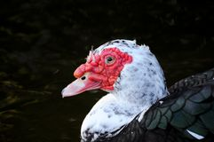 Portrait of Muscovy duck in Florida Stock Images
