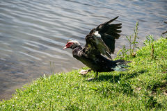 Portrait of a  Muscovy Duck. Royalty Free Stock Photo